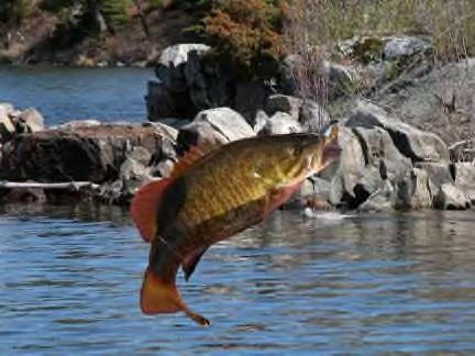 [Image: smallmouth%20bass%20jumping.jpg]